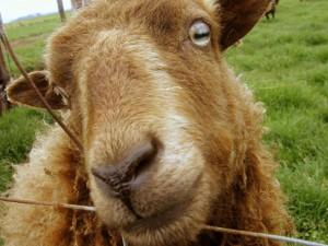 Postal: La cara de una oveja