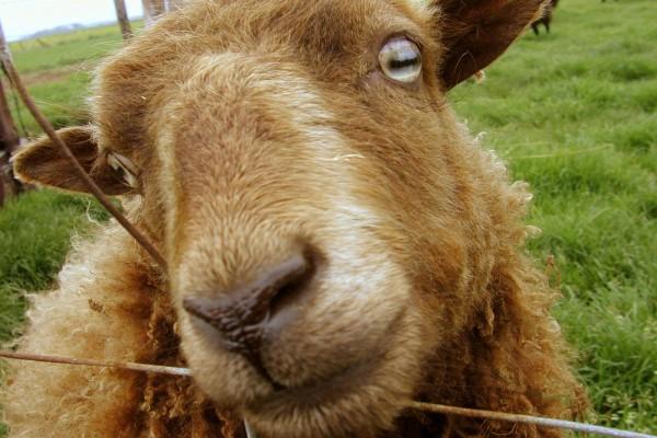 La cara de una oveja