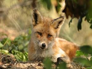 Un zorro con mirada triste