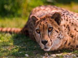 Postal: La mirada de un guepardo