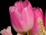 Preciosos tulipanes rosas con  gotas de agua