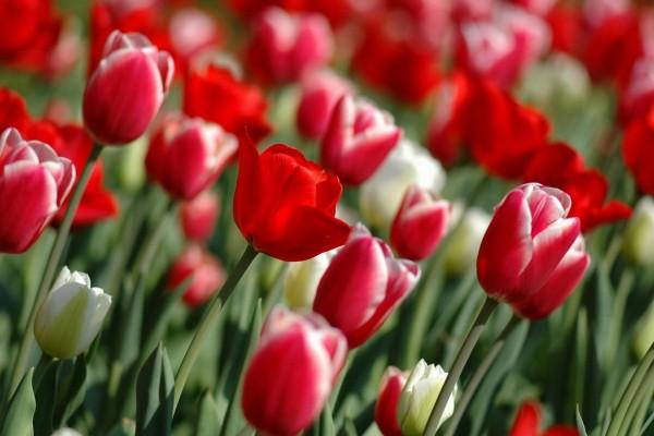 Jardín con tulipanes rojos y blancos