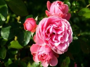 Grupo de peonías rosas