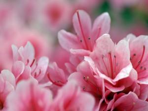 Postal: Pequeñas flores rosas con largos estambres
