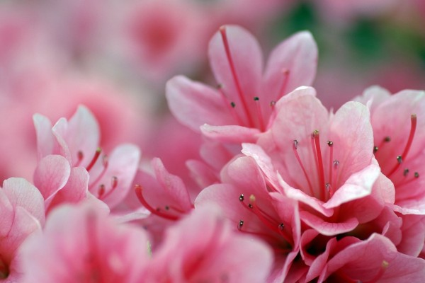 Pequeñas flores rosas con largos estambres
