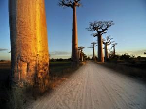 Árboles baobab a ambos lados del camino