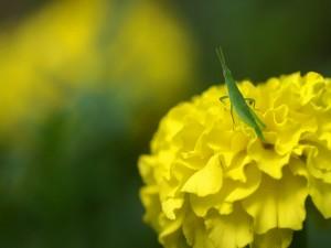 Saltamontes verde sobre una flor amarilla