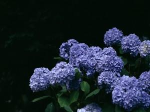 Una planta con bellas hortensias