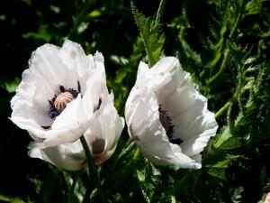 Postal: Flores blancas en una planta con pinchos