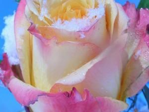 Una rosa con hielo y agua