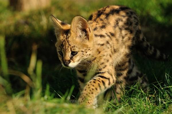 Serval caminando en la hierba