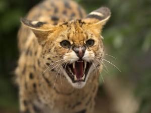 Un serval enfurecido