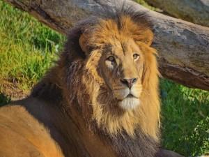 Un gran león tumbado al sol
