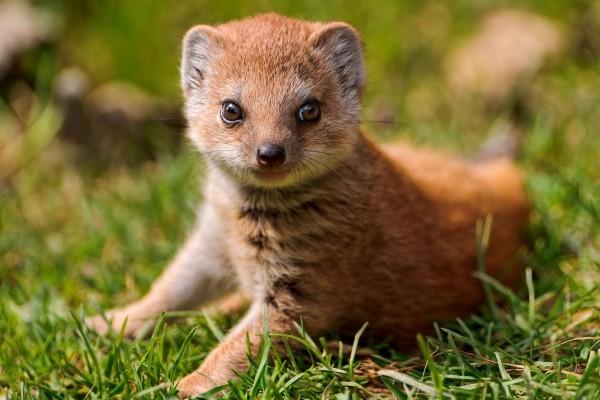 Una mangosta sobre la hierba