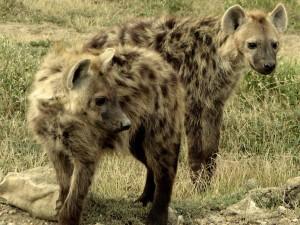 Postal: Dos hienas