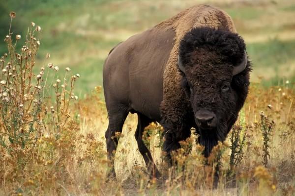 Un bisonte americano
