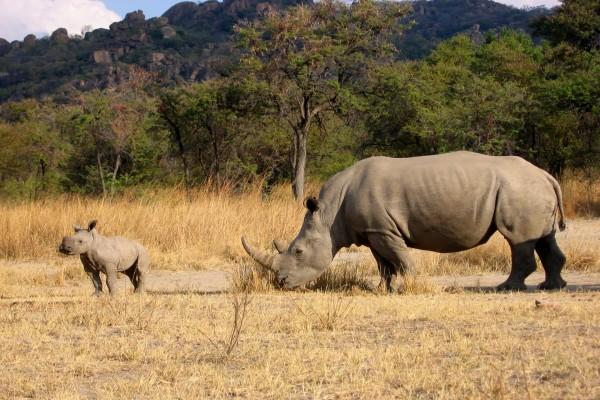 Rinoceronte siguiendo a su cría