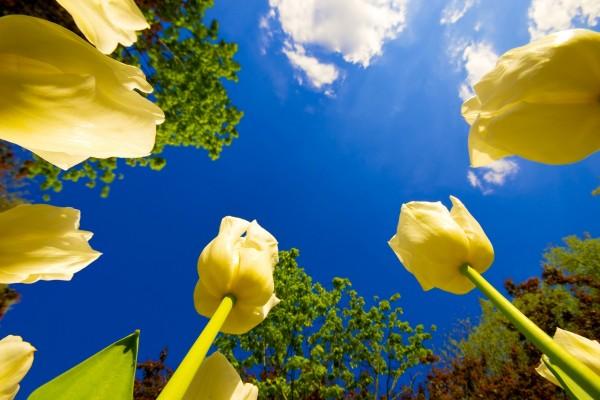 Hermosos tulipanes y el cielo azul
