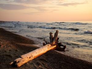 Postal: El tronco de un árbol en la orilla del mar