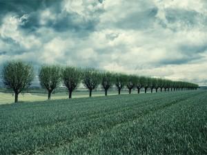 Hilera de árboles en el campo