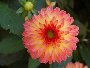 Una dalia de bonitos colores