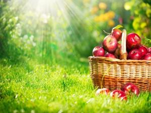 Postal: Una cesta con muchas manzanas rojas