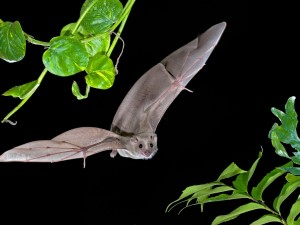 Murciélago volando en la noche entre las hojas