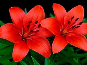 Postal: Una pareja de lirios color naranja