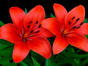 Una pareja de lirios color naranja