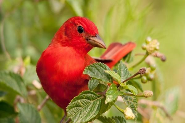 Encantador pajarito con plumas rojas