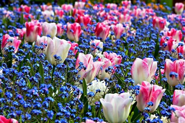 Campo con flores azules y tulipanes