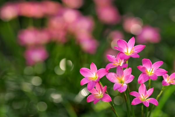 Flores de color rosa con gotas de rocío