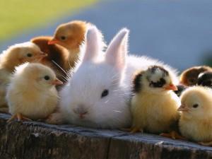 Postal: Un conejo y varios pollitos