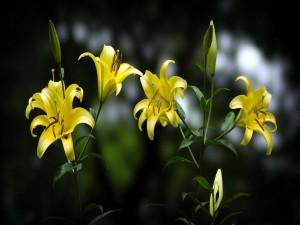 Lirios amarillos en la planta