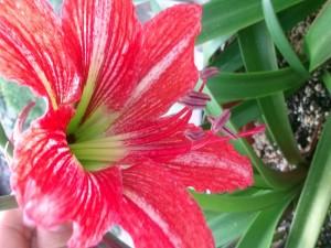 Postal: Lilium espléndido