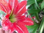 Lilium espléndido
