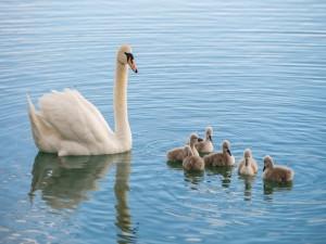 Mamá cisne y sus polluelos en el lago
