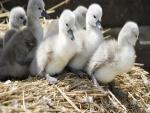 Pequeños cisnes sobre la paja