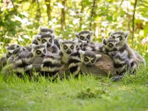 Una familia de lémures