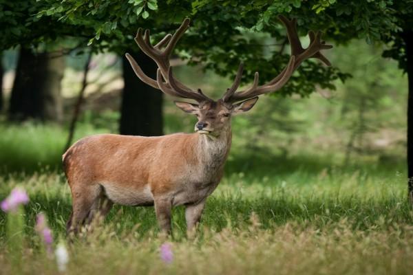 Un ciervo muy atento en la hierba