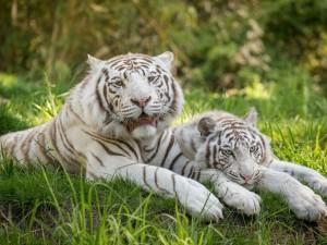 Postal: Pareja de tigres blancos