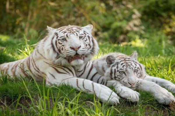Pareja de tigres blancos