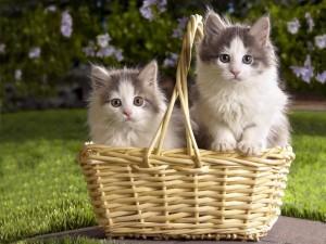 Postal: Cesta de mimbre con dos gatitos blancos