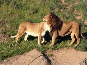 Postal: León y leona cariñosos