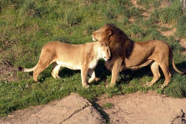 León y leona cariñosos