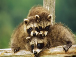 Tres graciosos mapaches