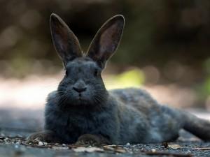Postal: Conejo gris