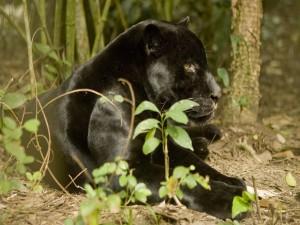 El perfil de una gran pantera
