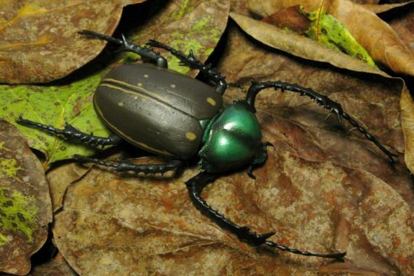 Un gran escarabajo sobre las hojas secas