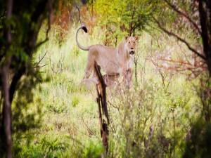 Una leona observando atenta